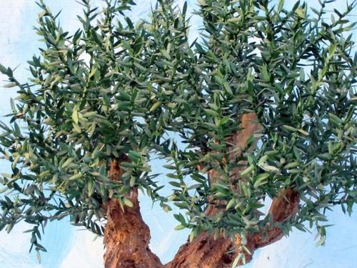 Alberi palme e vegetazione per presepi il for Acquisto piante ulivo